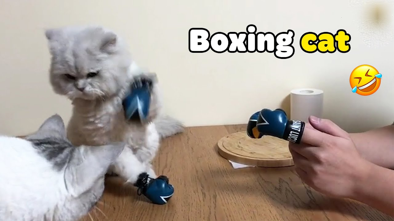 , Boxing Cat Funny And Cute Cats Video Compilation