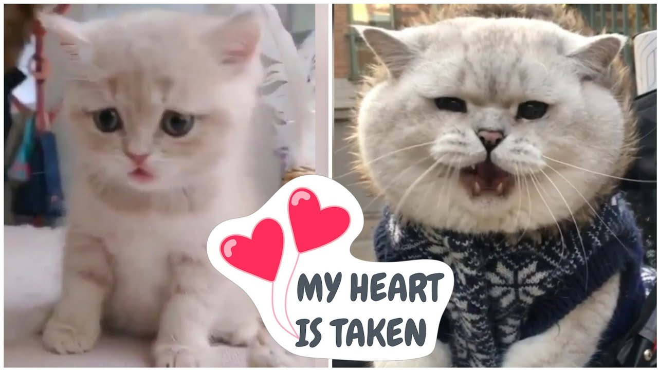 , Funny Cat Videos 2020 The Best Cute And Funny