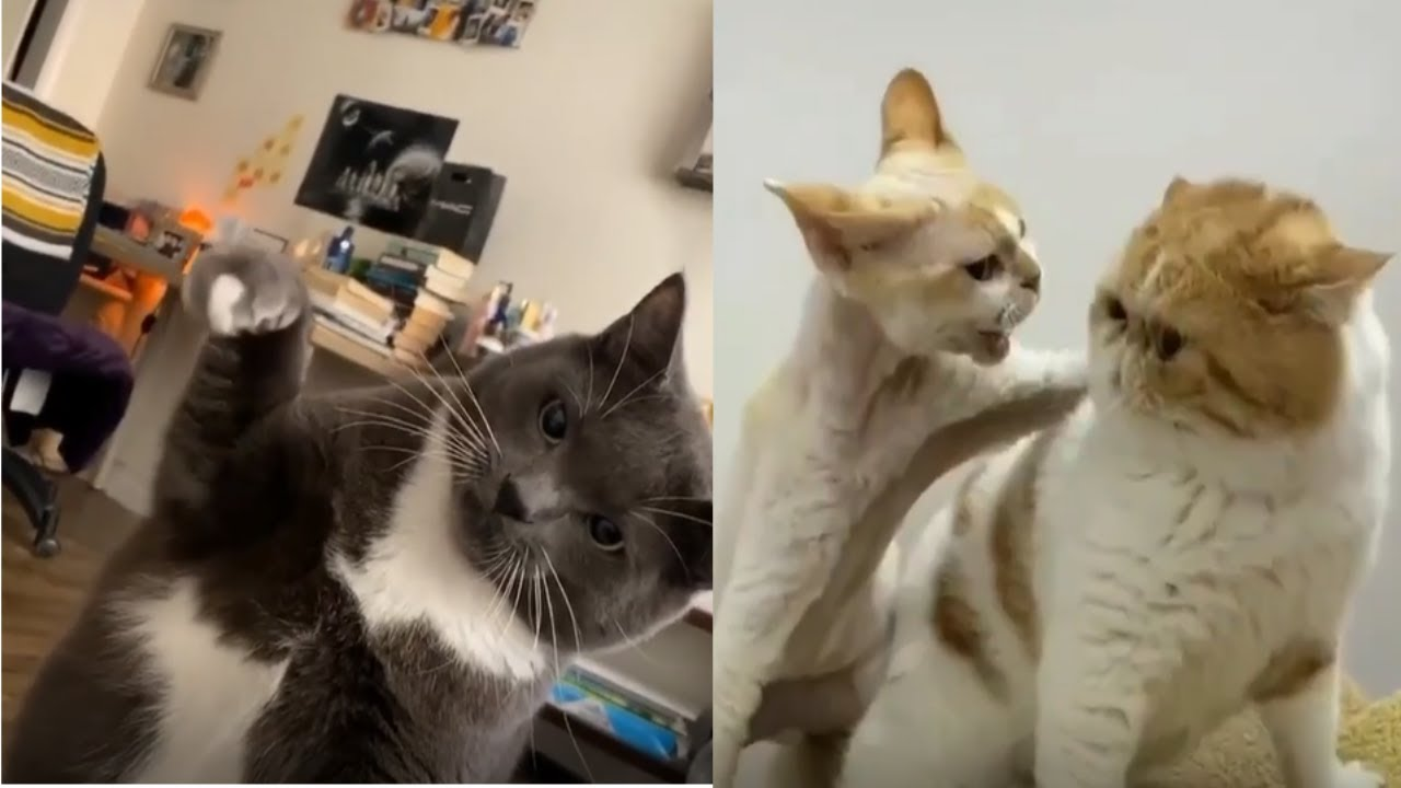 , Funny Cats Reaction when they fight cats compilation video