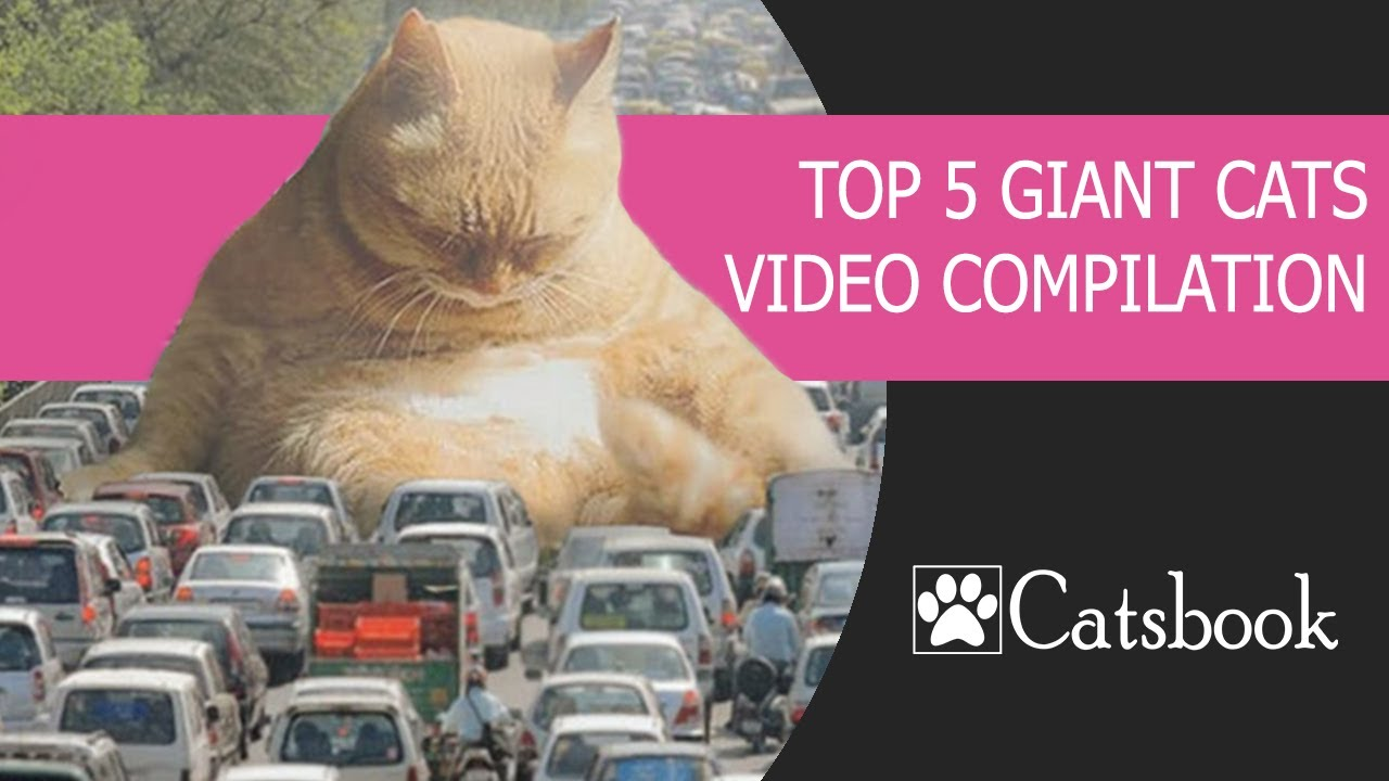, TOP 5 Giant Cats Video Compilation Best Funny Cat